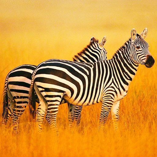 The Zebra 1.0.5 APKs MOD
